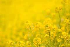 [Free Images] Flowers / Plants, Rapeseed / Canola, Yellow Color ID:201202160600