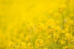 [フリー画像素材] 花・植物, 菜の花, 黄色・イエロー ID:201202160600