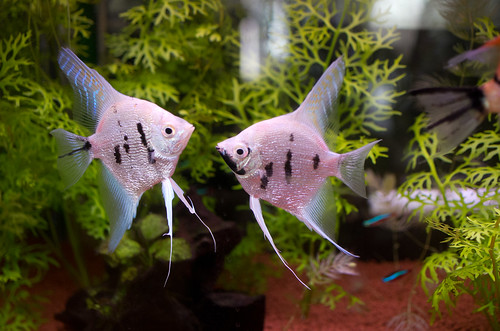 Top blogs my aquarium club for How to euthanize a fish