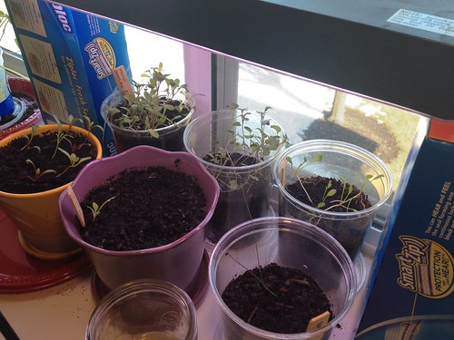 Windowsill garden feb 16