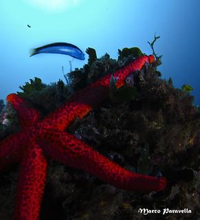 Coris julis-Donzella-Echinaster sepositus-Stella rossa