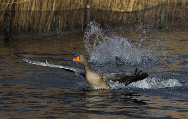 greylag take off
