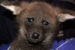 Maned wolf pup (February 17, 2012)