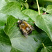 Small photo of Male ,Hairy-footed Flower-bee. Anthophora plumipes.