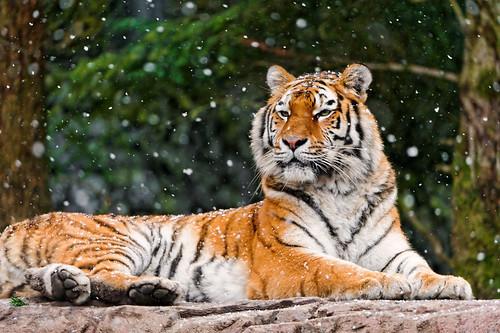 無料写真素材|動物|虎・トラ|雪
