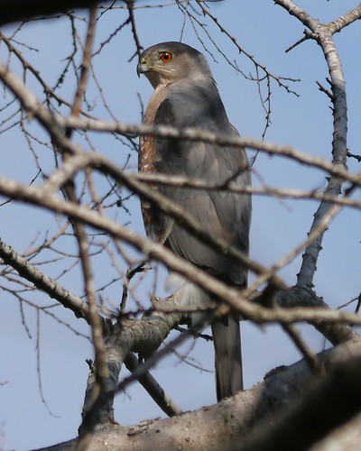 Possibly Nesting Cooper's Hawks - Male