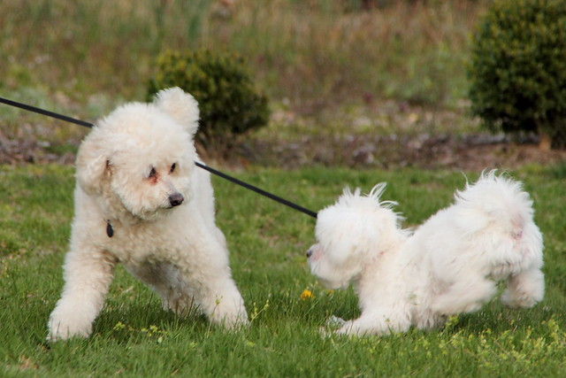 Poodle and Maltese cute puppies playing