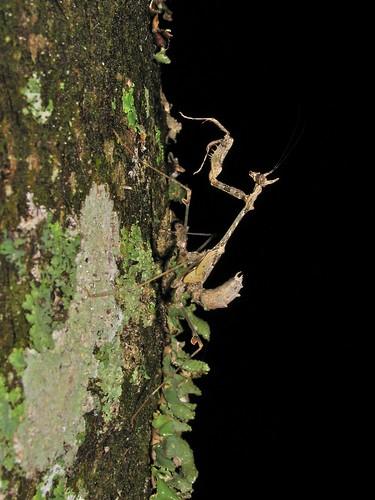 Sibylla cf. pretiosa (Sibyllidae), nymth