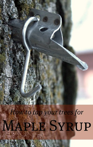 How to tap your trees for Maple Syrup lightened