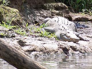 Un crocodile