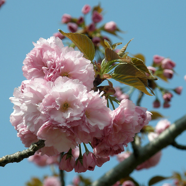 Photo:#3105 Japanese cherry (カンザン) By Nemo's great uncle