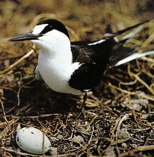 589px-Sooty_tern_on_nest