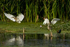 Bronze-Winged Jacana and Friends by rracine1