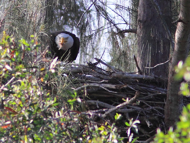 Bald Eaglet adult 20120309