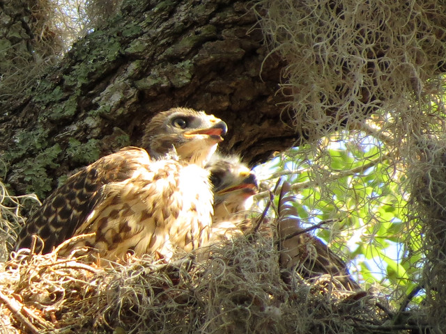 juvenile Red-shouldered Hawks