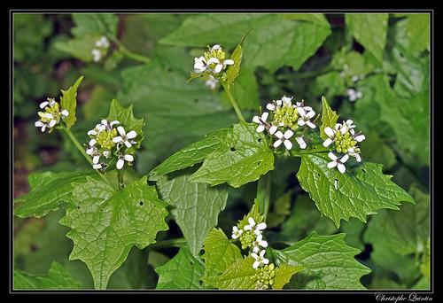 Alliaire officinale (Alliaria petiolata)