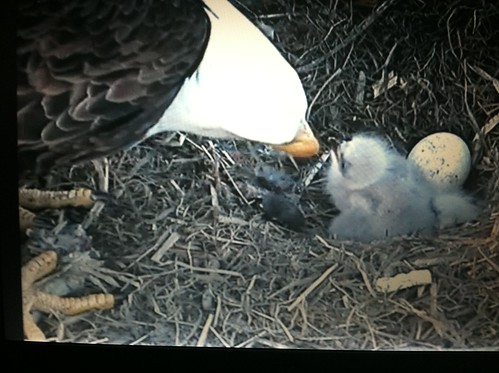 2 eaglets hatched, one to go