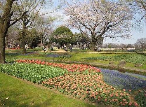 渓流広場のチューリップと桜 2012年4月9日 by Poran111