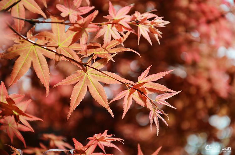 竹子湖紅楓03.jpg