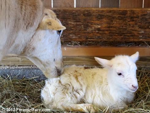 Random lamb snaps 4 - FarmgirlFare.com