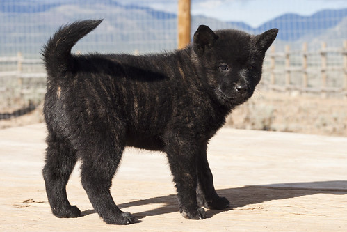 Ayu-Litter1-Day47-Puppy1-Female(Yuki)-c
