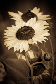Sunflower in Sepia