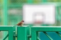 """""""籃球場麻雀 Sparrow at the Basketball Court"""" / 自然與體育之形 Nature and Sports Forms / SML.20130421.6D.02045"""