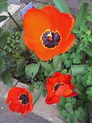 eschscholzia californica(0.0), annual plant(1.0), flower(1.0), plant(1.0), wildflower(1.0), flora(1.0), coquelicot(1.0), petal(1.0), poppy(1.0),