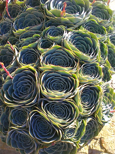 Echeverias by the sea by Reggie1