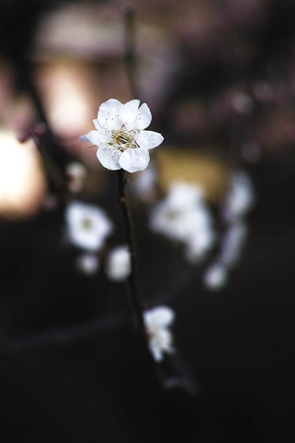20140327_01_plum tree