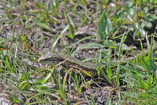 Lizard common New Forest  15.4.2014