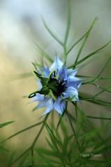 Petite fleur sauvage ou