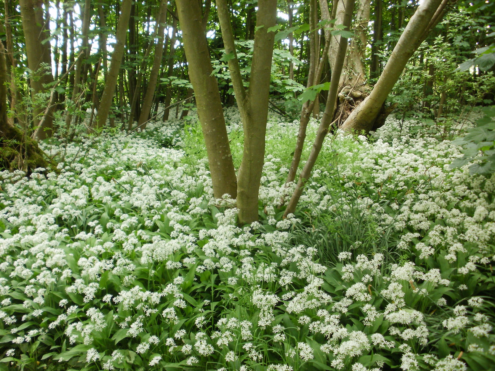 Wild garlic flowers Kent