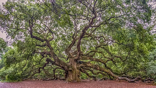 tree charleston angeloak angeloaktree