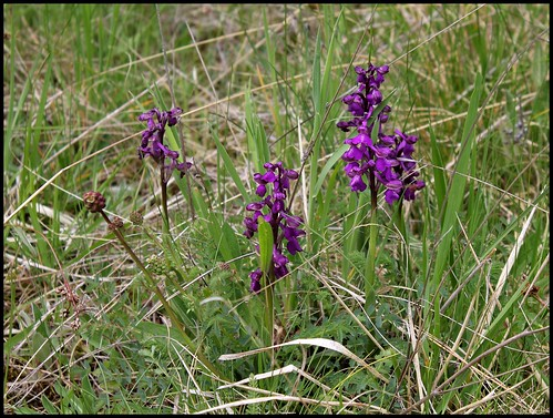 Orchis morio -orchis bouffon (2)