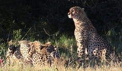 Cheetah, Acinonyx jubatus, at Pilanesberg National Park, Northwest Province, South Africa.