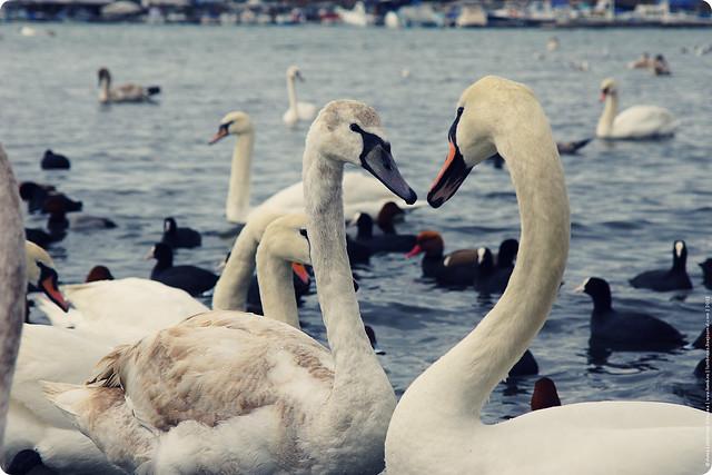 swans-24-2-12-10