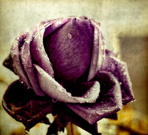 [フリー画像素材] 花・植物, 薔薇・バラ, 雫・水滴 ID:201203050400
