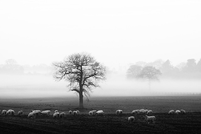 Fog and sheep