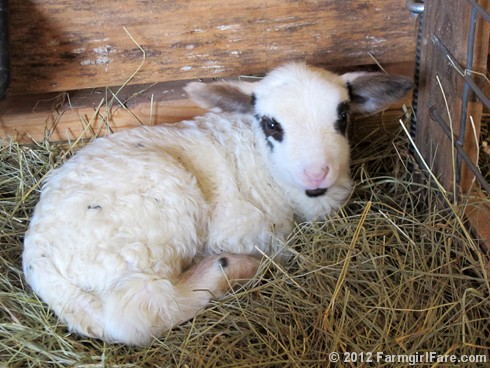 Friday random lamb photos 10 - FarmgirlFare.com