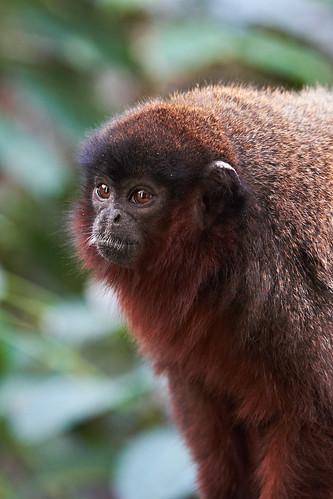 Red Titi Monkey (Callicebus cupreus)