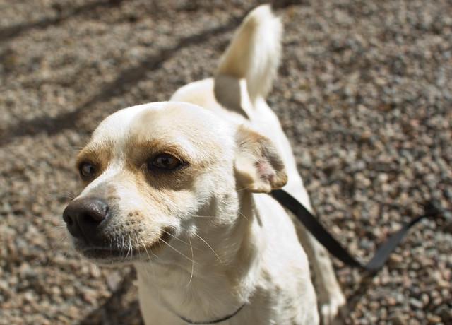 Dog Adoption Maricopa Az