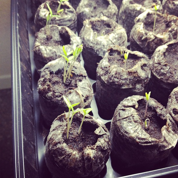Day 17: green - late bloomers. Not sure about my tomato seedlings this year. #marchphotoaday #daylate