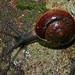 Small photo of Snail (Bertia brookei)
