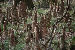 Congaree Cypress Knees