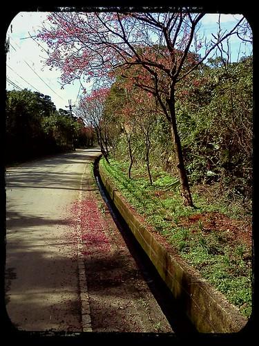 2012.2.12 ::: 三芝櫻花小旅行-6 by 南南風_e l a i n e