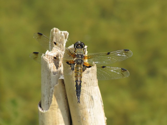 Four-spotted Chaser at Tophill Low - 02/07/2011