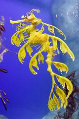 coral reef, syngnathiformes, yellow, organism, marine biology,