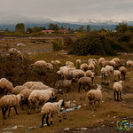 Sheep by the Caspian Sea, Iran