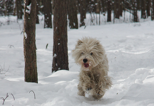 Cute Funny West Highland White Terrier Puppy in the Snow